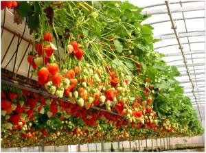 Бизнес идея: выращивание клубники.