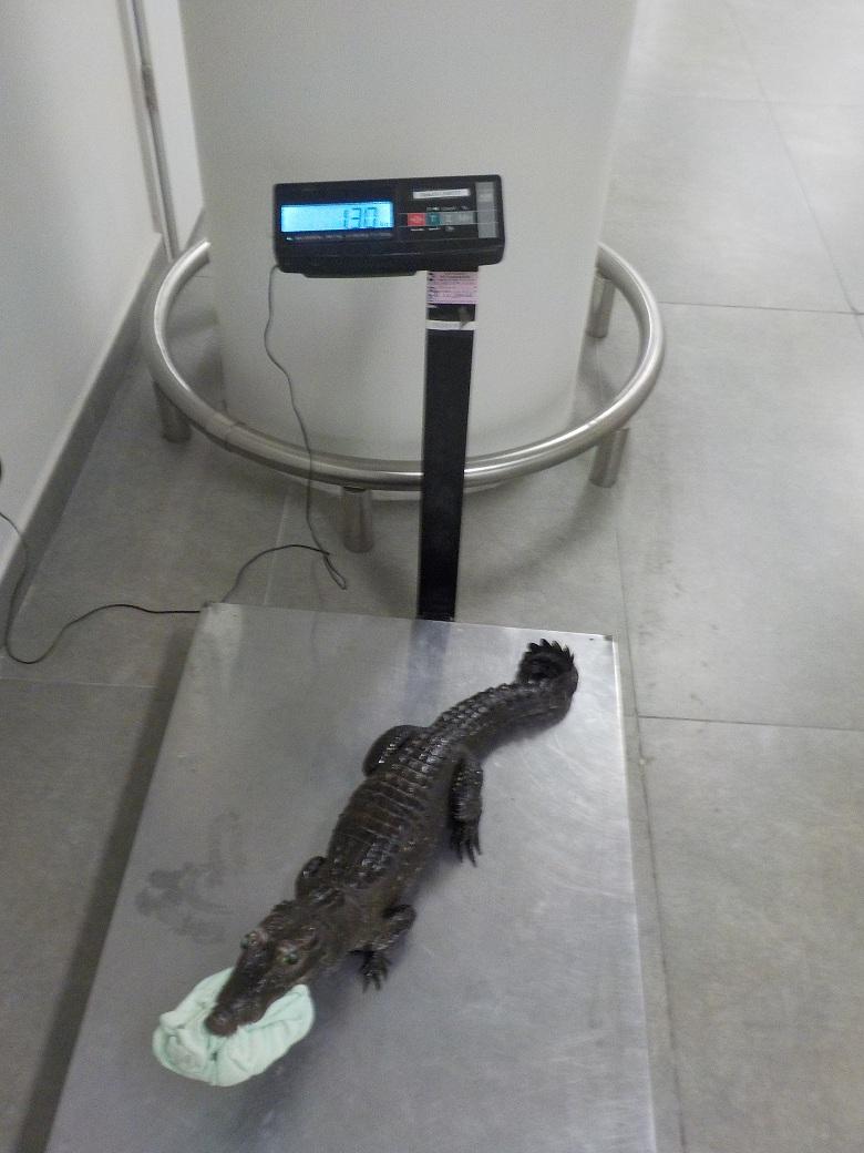 В самарском аэропорту изъяли чучело крокодила
