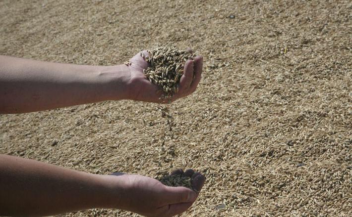 Зерно пошло в Китай