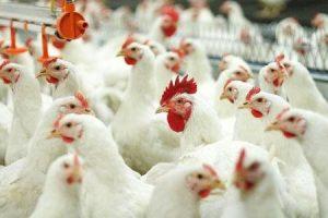 Инвесторы хотят вложить средства в развитие Сергиевской птицефабрики