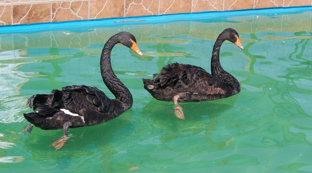 В Самарском зоопарке впервые за восемь лет вылупился чёрный лебедь