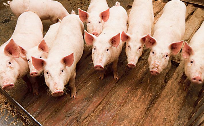 Свинки под замком, кабаны под прицелом