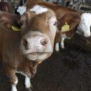 Растёт коровье поголовье