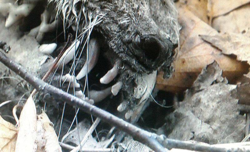 Под Костромой жуткие останки вызвали слухи о чудовище чупакабре