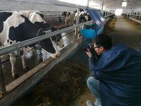 Ирменские коровы удивили китайского журналиста