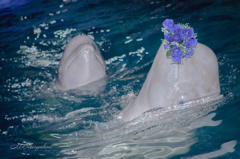 Дельфинарий в Костроме:  уникальный шанс увидеть поющих и танцующих дельфинов-художников