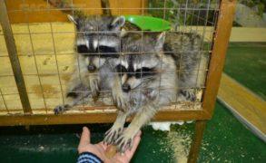 В Госдуме анонсировали скорое принятие закона о запрете контактных зоопарков