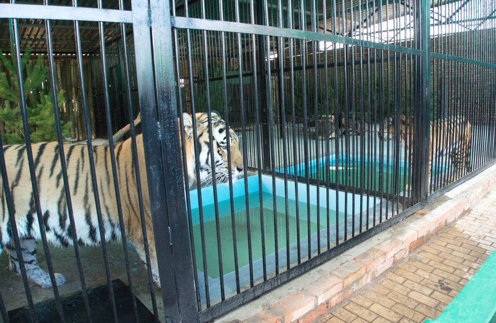 В Самарском зоопарке открыли новый вольер для амурских тигров